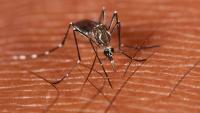 Detectat el segon cas de dengue autòcton a Catalunya en una pacient del Barcelonès que ja ha rebut l'alta