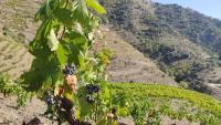 Mas de la Rosa, ja documentada al segle XVIII i on Torres elabora el seu vi més exclusiu