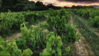 Una zona de vinyes al Penedès