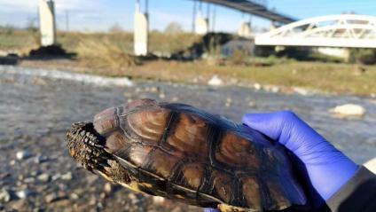 Una de les tortugues mortes trobades a la zona de Martorelles