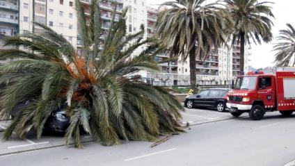 Les fortes ràfegues de vent han causat la caiguda d'objectes, com aquesta palmera ahir a Mataró
