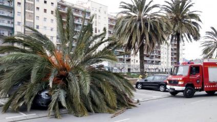 El vent va fer caure una palmera a sobre d'un cotxe al passeig marítim de Mataró
