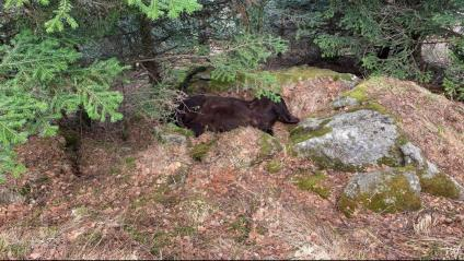 El lloc on s'ha trobat mort l'os Cachou, a la zona de Soberpera que pertany al municipi de Les (Val d'Aran)