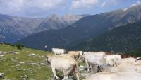 Un ramat de vaques al sector de la Balmeta, on s'accedeix per la pista de Setcases a Espinavell