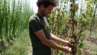 Sánchez examina una planta d'una de les fileres afectades. Darrere seu, una filera que no va rebre l'atac