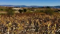 Vinyes a la tardor, en primer terme, i l'autopista i activitat industrial al fons, en un punt del Baix Penedès