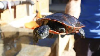 Exemplar de tortuga exòtica retirada de l'Estany de Banyoles