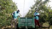 Dos treballadors recollint fruita en una finca de l'Armentera