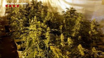 Desarticlen una organització europea dedicada al tràfic de marihuana que tenia Barcelona com a punt neuràlgic de cultiu