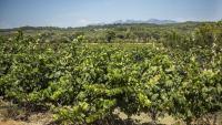 Una filera de vinyes en primer terme, al Penedès, amb les muntanyes de Montserrat al fons