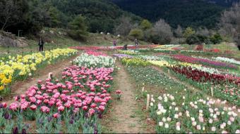 El camp de tulipes del Berguedà