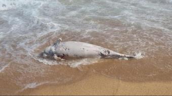 El dofí trobat a la platja de Blanes, amb evidents signes de descomposició
