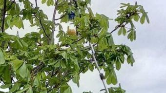 Munell penjant una de les trampes en un arbre del parc Monar, ahir en la presentació