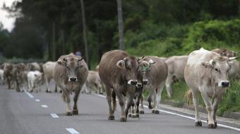 Vaques en transhumància en una imatge d'arxiu