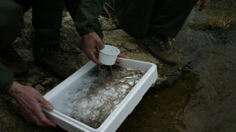 Una caixa d'angules abans de ser alliberades al riu, en una imatge d'arxiu
