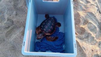 Una de les 24 tortugues alliberades al mar