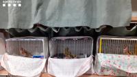 Detall de gàbies amb caderneres intervingudes el passat mes de juny en una altra operació feta a Ivars d'Urgell
