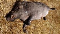 Un dels senglars atropellats trobat pels Agents Rurals